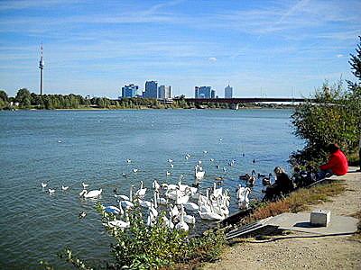 Danube river swans Donauturm Vienna Austria